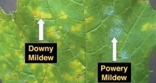 downy-mildew