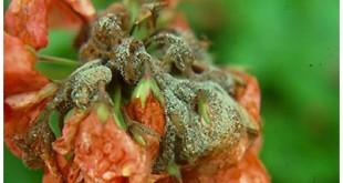 botrytis-flower