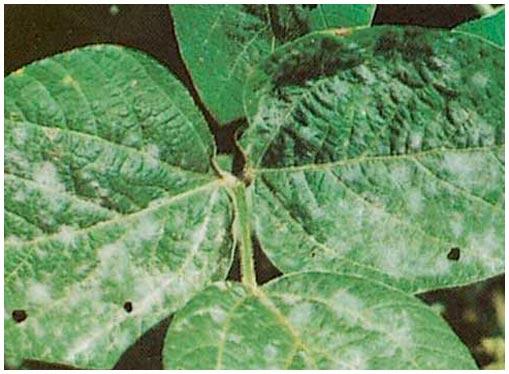 powdery-mildew-sign