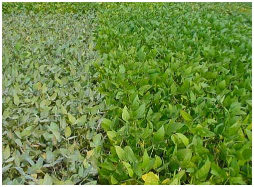 powdery-mildew-soy-bean