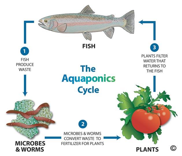 aquaponic-cycle