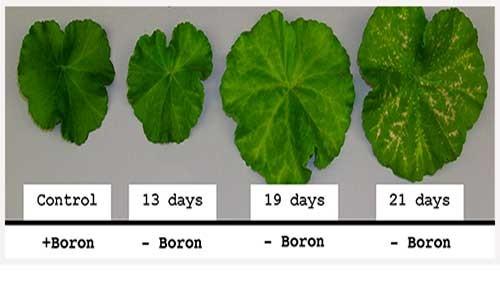 boron-deficient-leaves