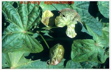 copper-deficiency-new-leaves
