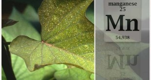 manganese-deficient