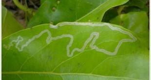leaf-miner-leaf