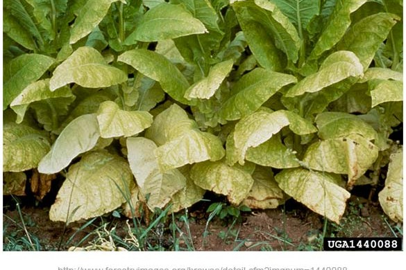 nitrogen-deficient-tobacco