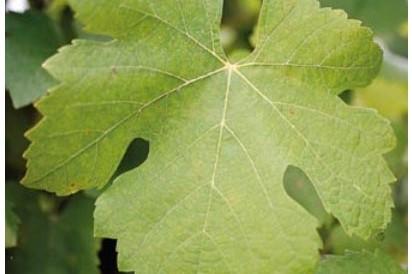 nitrogen-deficiency-grape