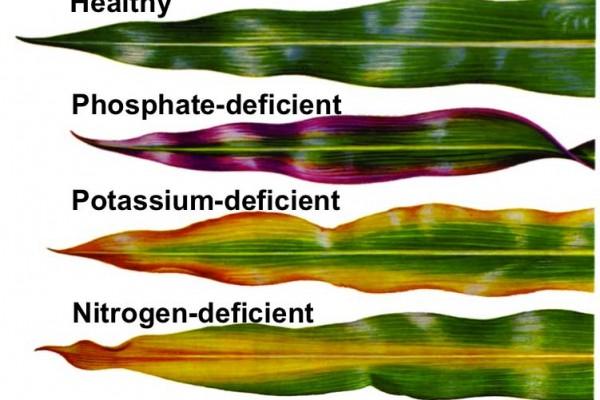 phosphate-potassium-nitrogen-deficient