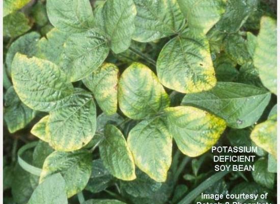 potassium-deficient-soybean