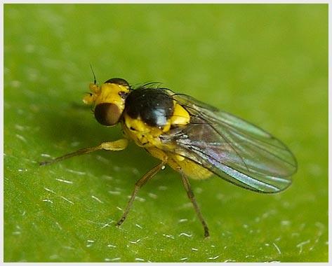 fly-leaf-miner