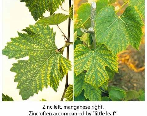 zinc-manganese-deficient