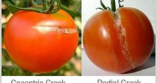 tomat-retak