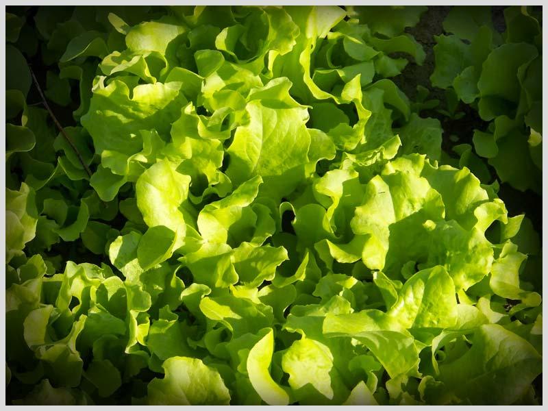 black-seeds-simpson-lettuce