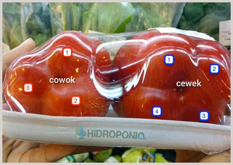 bell-pepper-jenis-kelamin