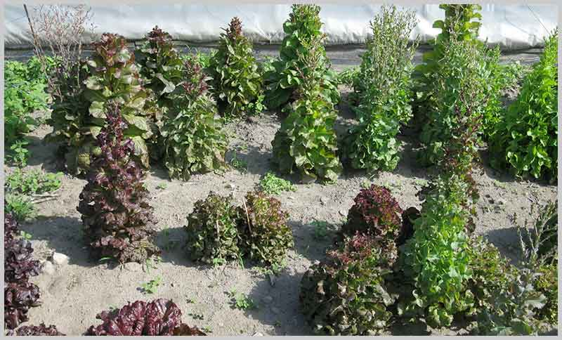 lettuce-bolting