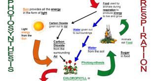 photosynthesis-respiration-chart