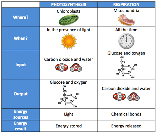 photosynthesis-respiration-comparison