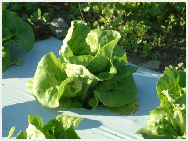 mulsa-lettuce-selada