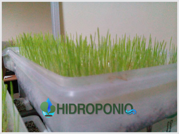 wheatgrass-day-5.1