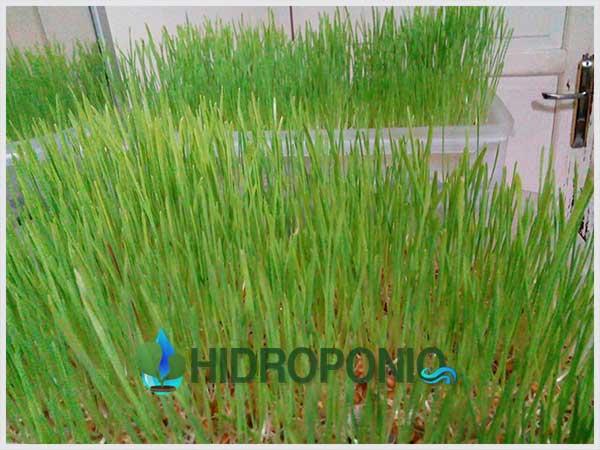 wheatgrass-day-6