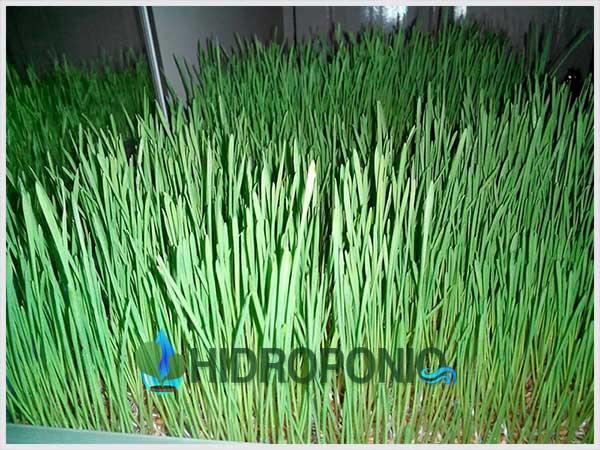 Wheatgrass-Day7