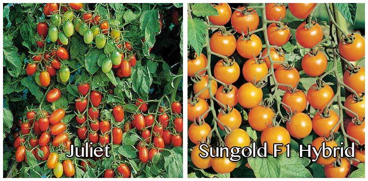 hybrid-tomato
