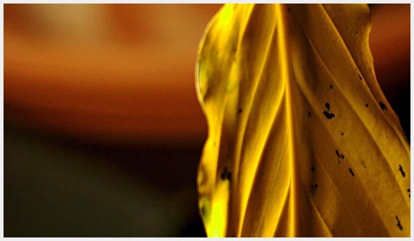 yellow_leave